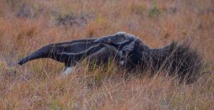 Giant Anteater ©Leon Moore