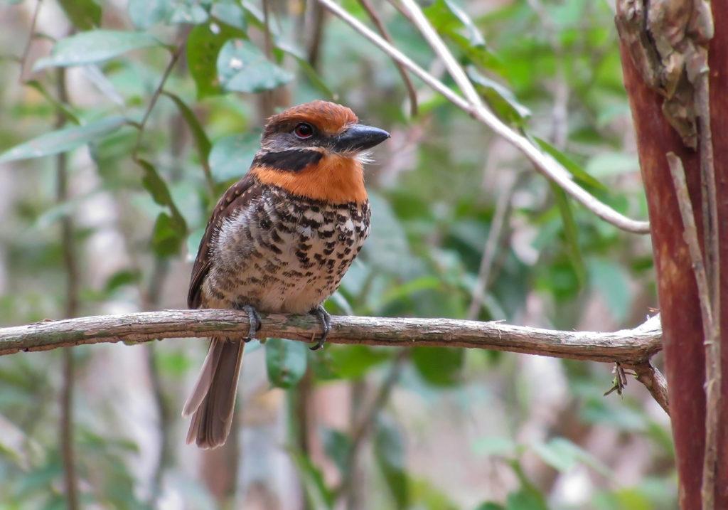 Spotted Puffbird near Karanambu